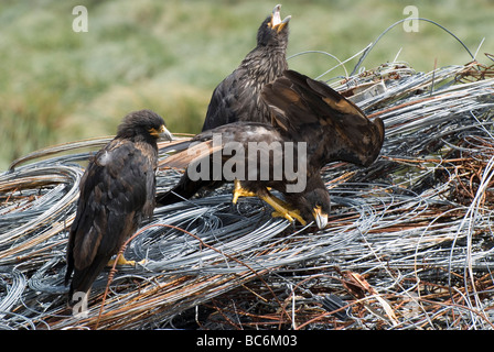 Three Striated Caracara, Phalcoboenus australis, standing on some coiled metal wire - Stock Photo