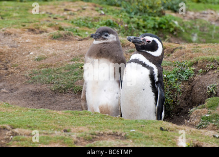 Magellanic Penguin, Spheniscus magellanicus - adult and chick in a burrow - Stock Photo