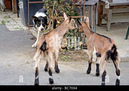 two young goats being watched intensely by a Border Collie sheepdog - Stock Photo