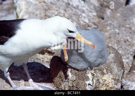 Adult Black-browed Albatross, Thalassarche melanophry, feeding chick by regurgitating into the chick's beak - Stock Photo