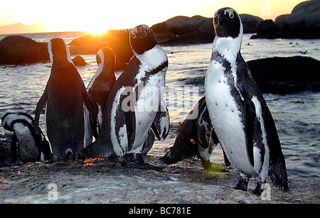 A group of African Penguin, Spheniscus demersus, standing on the edge of the water on beach at sunset - Stock Photo