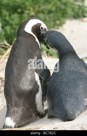 Mother African Penguin, Spheniscus demersus, feeding a chick by regurgitating the contents of her stomach into the - Stock Photo