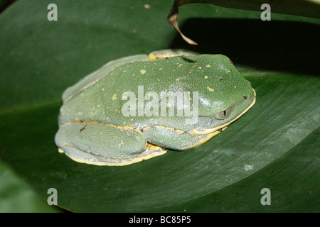 Splendid Leaf Frog Cruziohyla calcarifer Taken At Chester Zoo, England, UK Stock Photo
