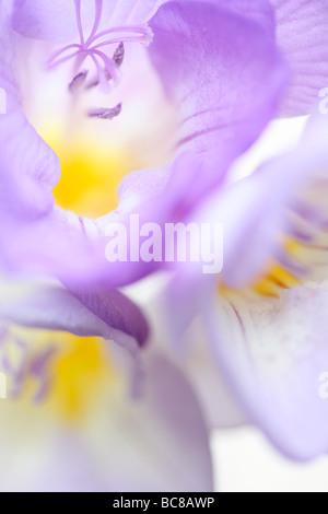 delicately fragranced mauve freesia soft ethereal fine art photography - Stock Photo