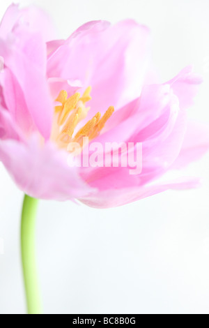 lilac perfection tulip portrait freeflowing ethereal fine art photography - Stock Photo