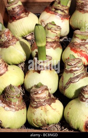 Amaryllis bulbs sprouting at the Flowermarket in Amsterdam The Netherlands Europe - Stock Photo