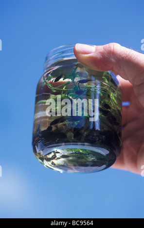 Tadpoles in a jam jar being held by a human hand - Stock Photo