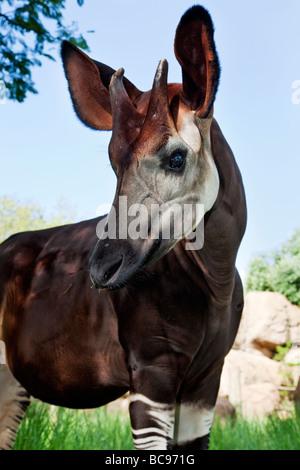 Okapi Herbivorious mammal with unusual markings The Flagship species of the Ituri Rainforest Democratic Republic - Stock Photo