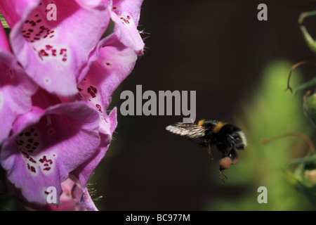 Bumble Bee flying towards foxglove with wing fully forward captured at very high shutter speed - Stock Photo