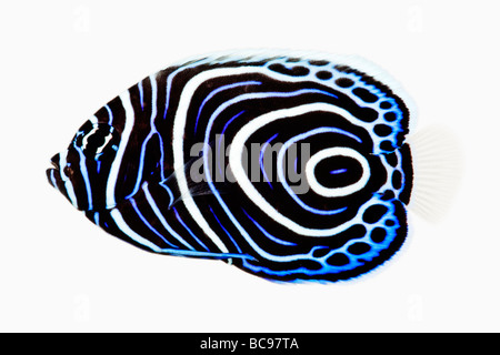 Juvenile Emperor angelfish Pomacanthus imperator Carnivorous tropical marine reef fish Dist Indo Pacific Red Sea - Stock Photo