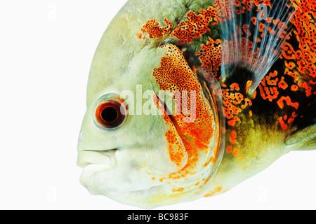 Oscar fish Astonotus ocellatus Tropical Freshwater fish Dist Brazil French Guinea Columbia and Peru, amazon river - Stock Photo