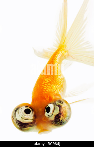 Celestial eyed gold fish - Stock Photo