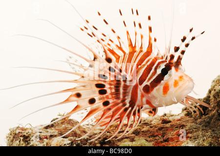 Spotfin Lion fish Tropical marine reef fish - Stock Photo
