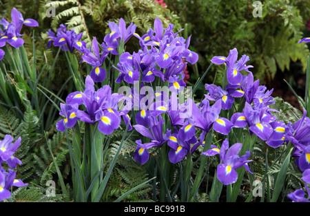 Blue iris - Stock Photo