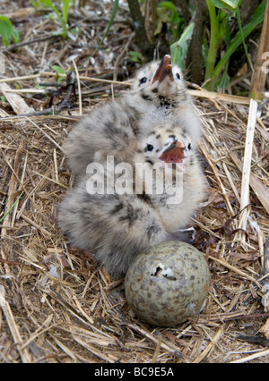 two downy Herring Gull chicks and an egg in the nest The egg is being opened from the inside by the emerging chick - Stock Photo