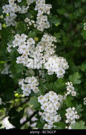 Common Hawthorn Tree in Flower, Crataegus monogyna, Rosaceae - Stock Photo