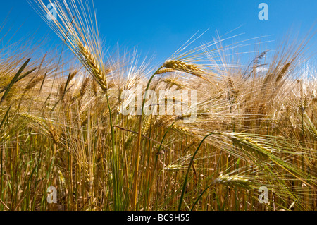 Ripening barley - Indre-et-Loire, France. - Stock Photo