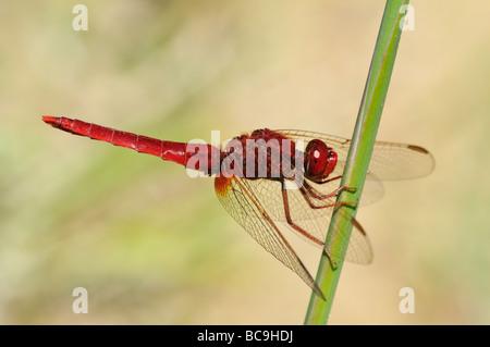 Scarlet Dragonfly  (Crocothemis erythraea), male - Stock Photo