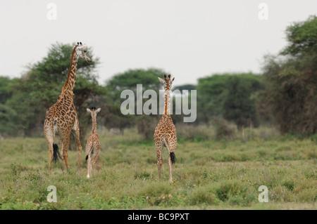 Stock photo of a Masai giraffe family walking away, Ndutu, Tanzania, February 2009. - Stock Photo