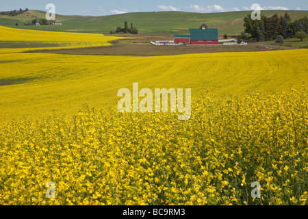Near Pullman, Washington, in Palouse Country, Southeastern Washington State. Canola Field and Red Barn. - Stock Photo