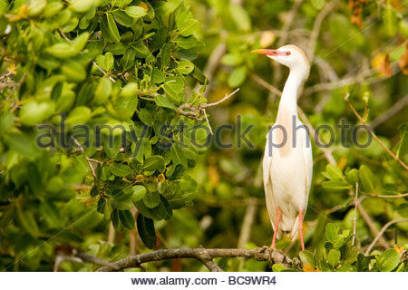 A Cattle Egret (Bubulcus ibis) portrait. - Stock Photo