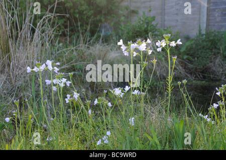 Lady s Smock or Cuckoo Flower cardamine pratensis in flower growing in wildlife area of garden Uk April - Stock Photo