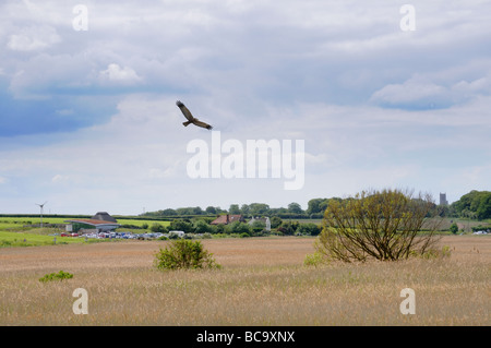 Cley Norfolk Wildlife Trust reserve Showing visitors centre and marsh harrier in flight UK May - Stock Photo