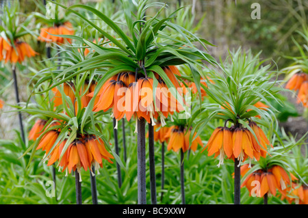 Fritillaria imperialis crown imperial three plants in full flower UK April - Stock Photo