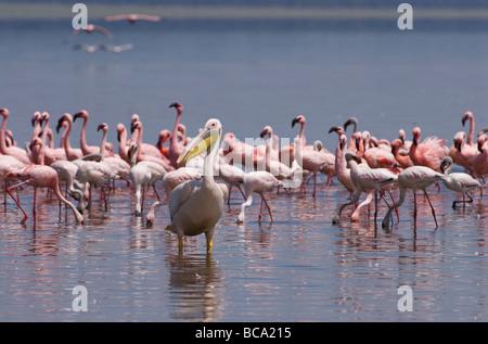 great white Pelican in front of Flamingos PELECANUS ONOCROTALUS NAKURU NATIONAL PARK KENYA EAST Africa - Stock Photo