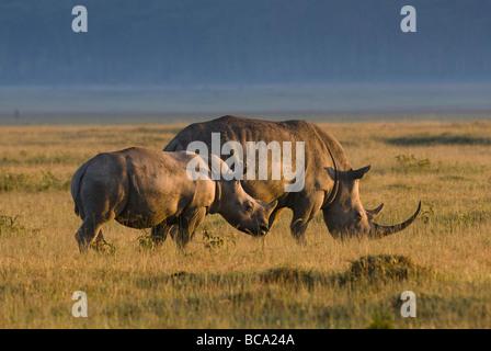 white rhino Ceratotherium Simum NAKURU NATIONAL PARK KENYA EAST Africa - Stock Photo