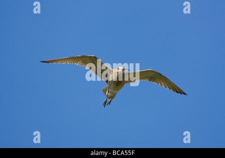 Curlew Numenius aruuata in flight and feeding - Stock Photo
