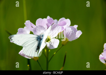 Mayflower or cuckoo flower with white butterfly - Stock Photo