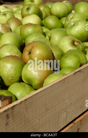 Crate of Armagh Bramley apples waiting to go into storage before being made into cider or apple tart - Stock Photo