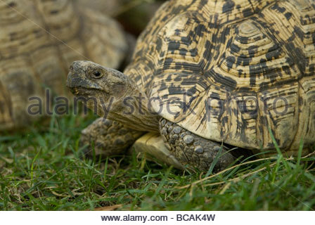 A leopard tortoise on the move at the Lincoln Children's Zoo. - Stock Photo