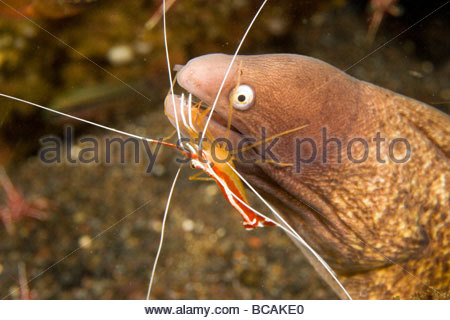 Cleaner shirmp cleans parasites from White-eyed Moray eel. - Stock Photo