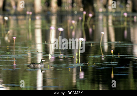 A male Green Pygymy-Goose swims on a wetland covered in water lilies. - Stock Photo