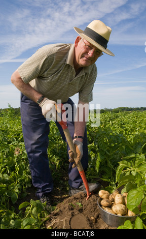 A man digging up potatoes - Stock Photo
