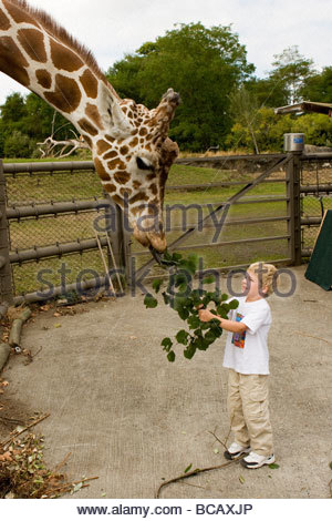 A five year old boy feeds a giraffe at the zoo. - Stock Photo