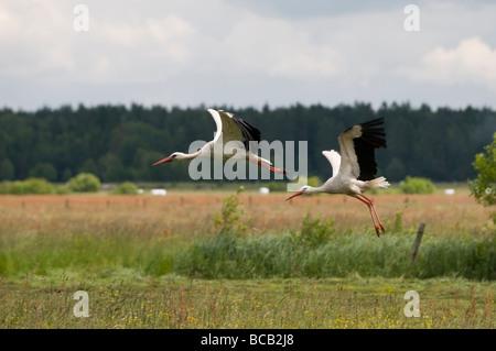 Two white storks (Ciconia ciconia) - Stock Photo