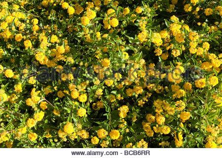 Yellow lantana flowers (Lantana camara) in North Carolina. - Stock Photo