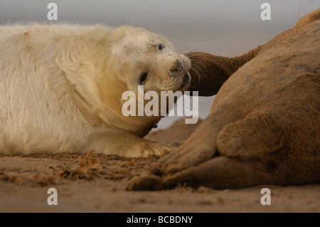 Grey Seal Halichoerus grypus pup being encouraged to suckle Lincs January - Stock Photo