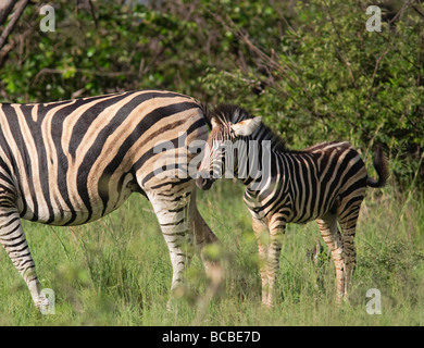 Burchell's zebra (Equus quagga burchellii) calf with mother grazing in Kruger National Park South Africa - Stock Photo