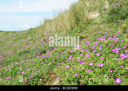 Bloody Cranes Bills Gerenium sanguineum Whiteford Burrows Gower Peninsula Glamorgan Wales cymru UK - Stock Photo