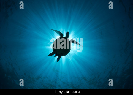 Turtle silhouetted by sun - Stock Photo