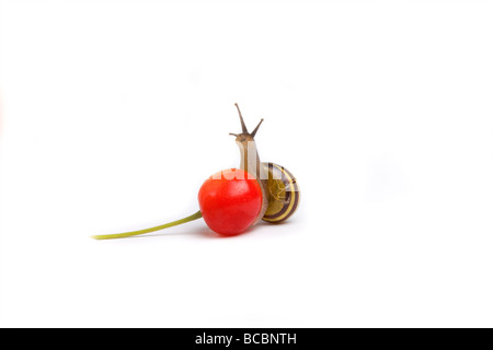 Small red cherry just fallen from tree studio shot against white background with randy garden snail balancing on - Stock Photo