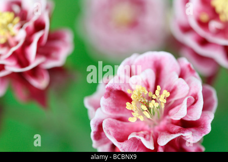 beautiful double red and white aquilegia fine art photography Jane Ann Butler Photography JABP486 - Stock Photo