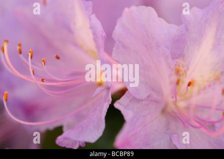 gorgeous colour flower soft ethereal and elegant azaleas fine art photography Jane Ann Butler Photography JABP490 - Stock Photo