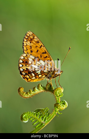 SMALL PEARL BORDERED FRITILLARY (Boloria selene) at rest on bracken frond - Stock Photo