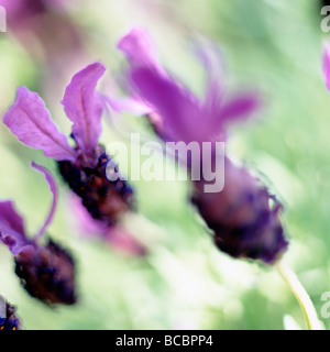 gorgeous fine art image of french lavender fine art photography Jane Ann Butler Photography JABP496 - Stock Photo