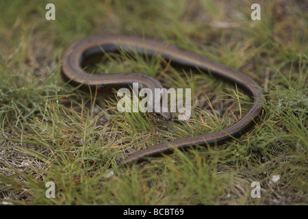 European slow worm Anguis fragilis or blindworm - Stock Photo